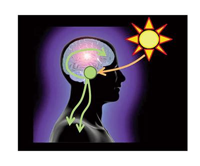 circadian entrainment